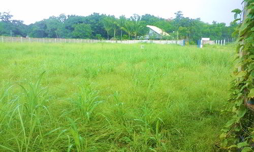Tall grass growing at the CEA orphanage site