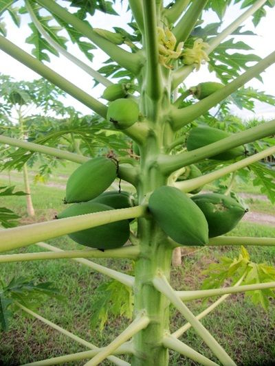 Papaya tree bearing fruit at the CEA orphanage